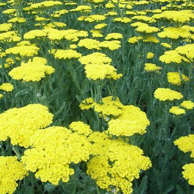 Perennial Meadow Fernleaf Yarrow Achillea X Moonshine Yarrow Plant Plants Flowers Perennials