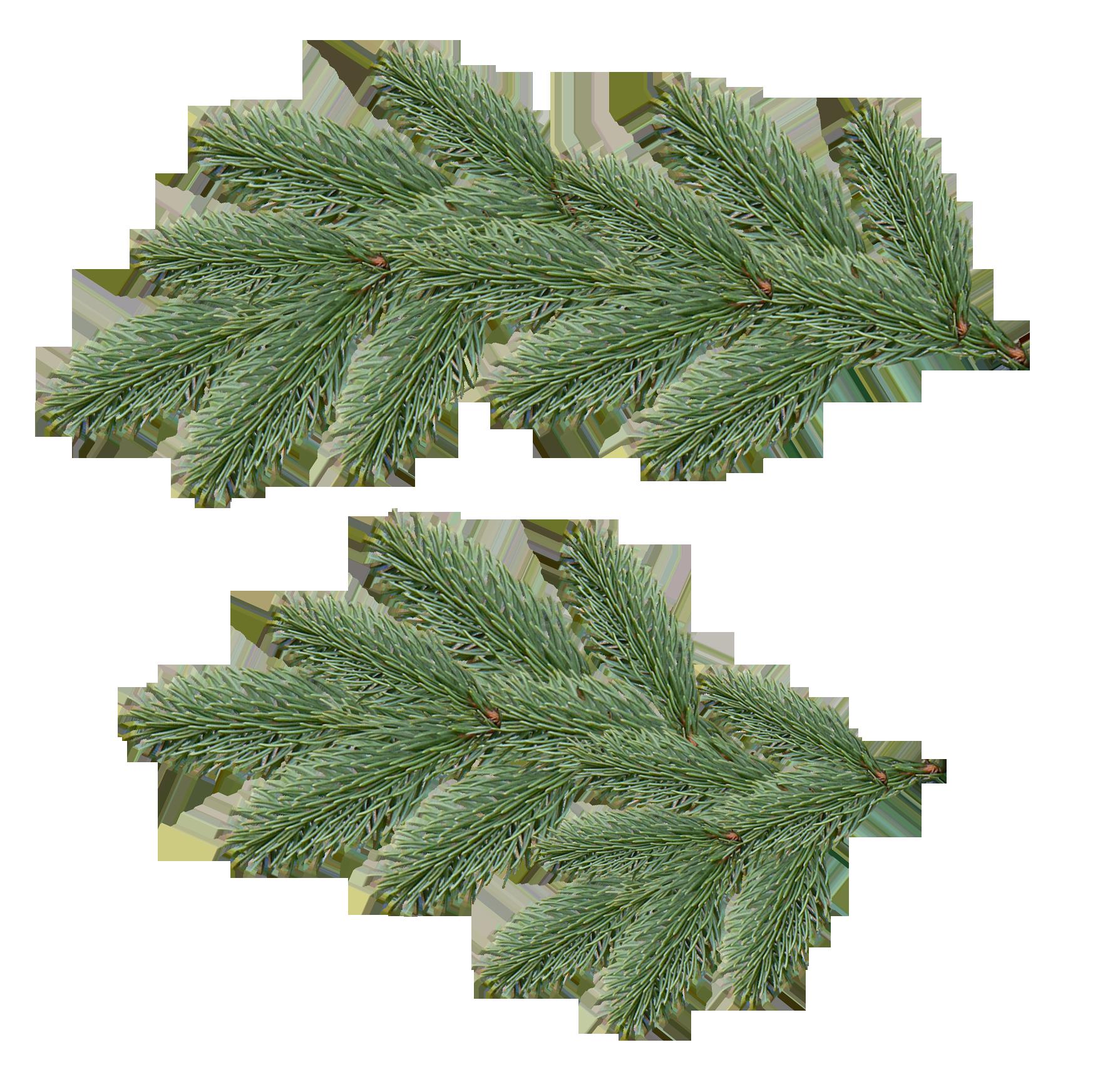 Dennentakken Meer Op De Site Tree Fir Tree Plant Leaves