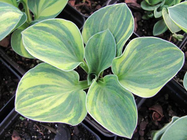 Hosta Blue Mouse Ears Supreme Hostas Garten Gardening Garten Ideen