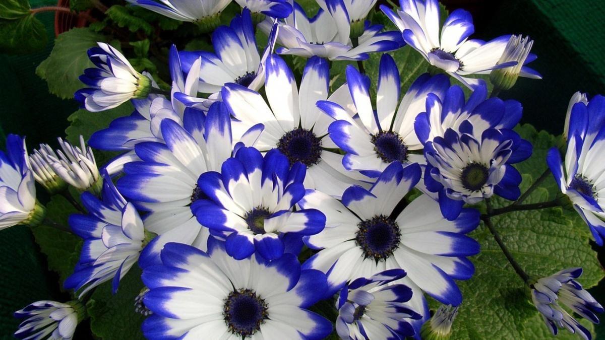 Цинерария в саду | Фиолетовые растения, Посадка цветов ...