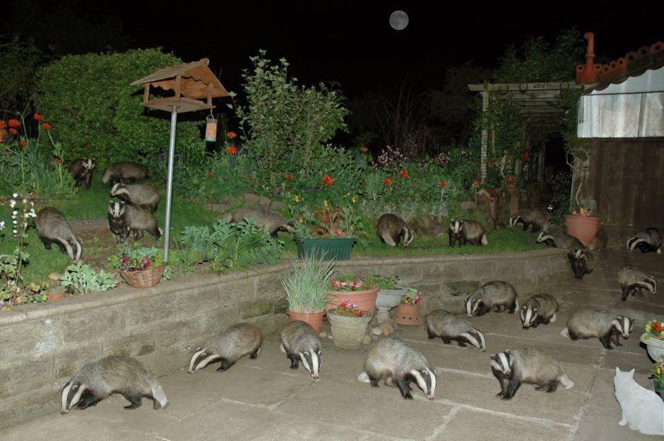honey badger infestation, badger badger badger badger badger badger badger badger, mushroom mushroom!!!!!!
