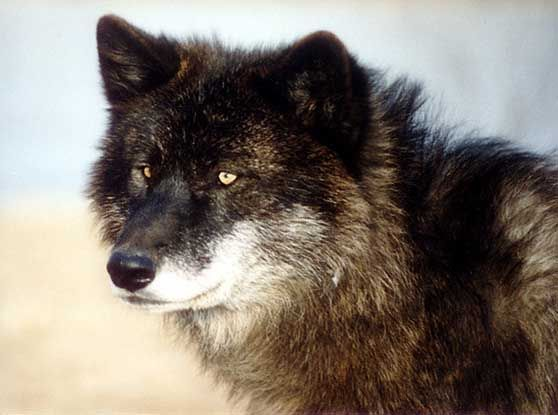 View topic the lost warriors wolf rp new and accepting view topic the lost warriors wolf rp new and accepting sciox Images