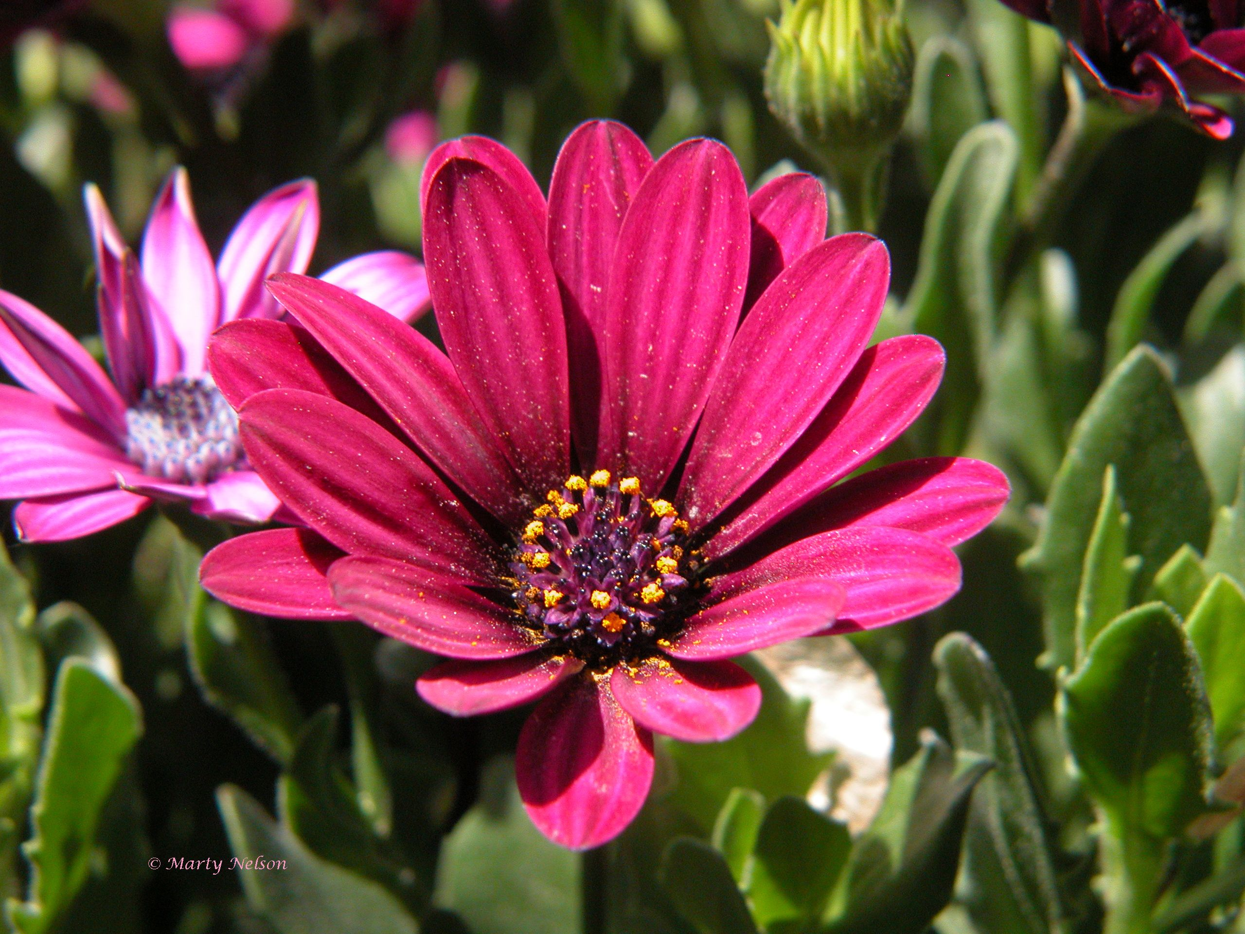 Purple Daisy: ©Copyright by Marty Nelson. Website: http://martynelsonphotoart.wix.com/mn-photo-art