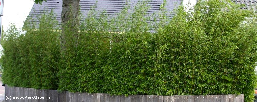 Verrassend Bamboe haag | Bamboe Fargesia robusta 'Campbell' | Privacy hedge AN-32