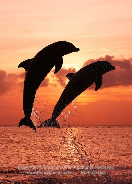 Dolphins Jumping In The Sunset Two Bottlenose At Marine