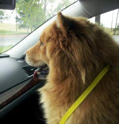 Eddie Is An Adoptable Chow Chow Dog In Lubbock Tx Eddie Is A