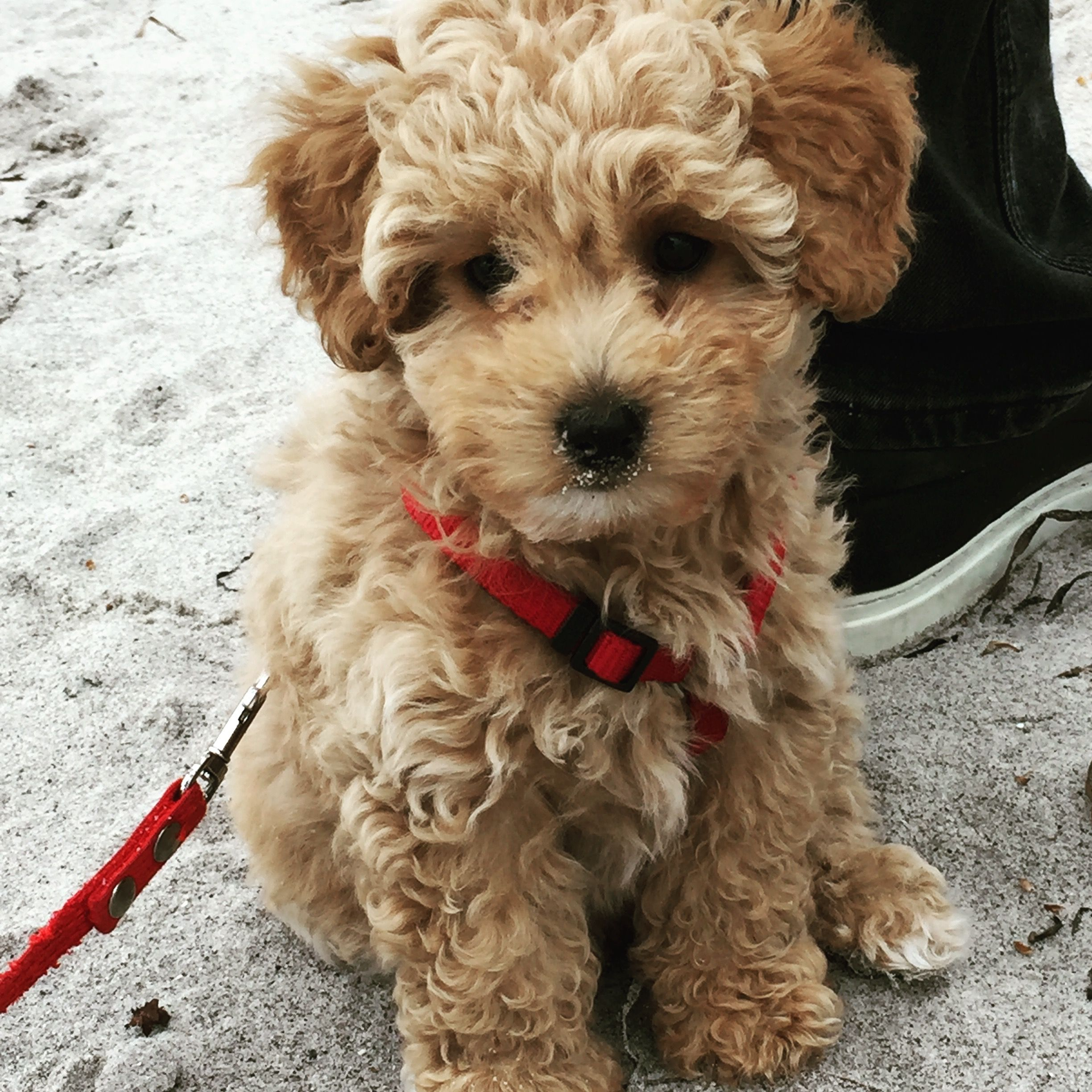 Bailey Our 9 Weeks Old Pooton Pup Mini Goldendoodle Cute