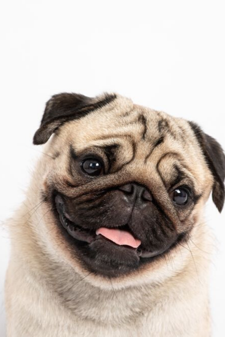 Cute Pet Dog Pug Breed Smile With Happiness Feeling So Funny And Making Serious Face Isolated On White Background Pugs Pug Memes Dogs