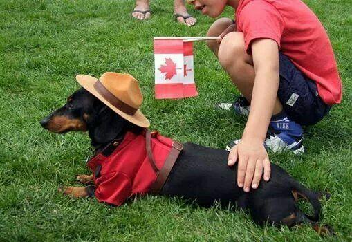 Oh Canada Crusoe Does It Again Crusoe The Celebrity Dachshund