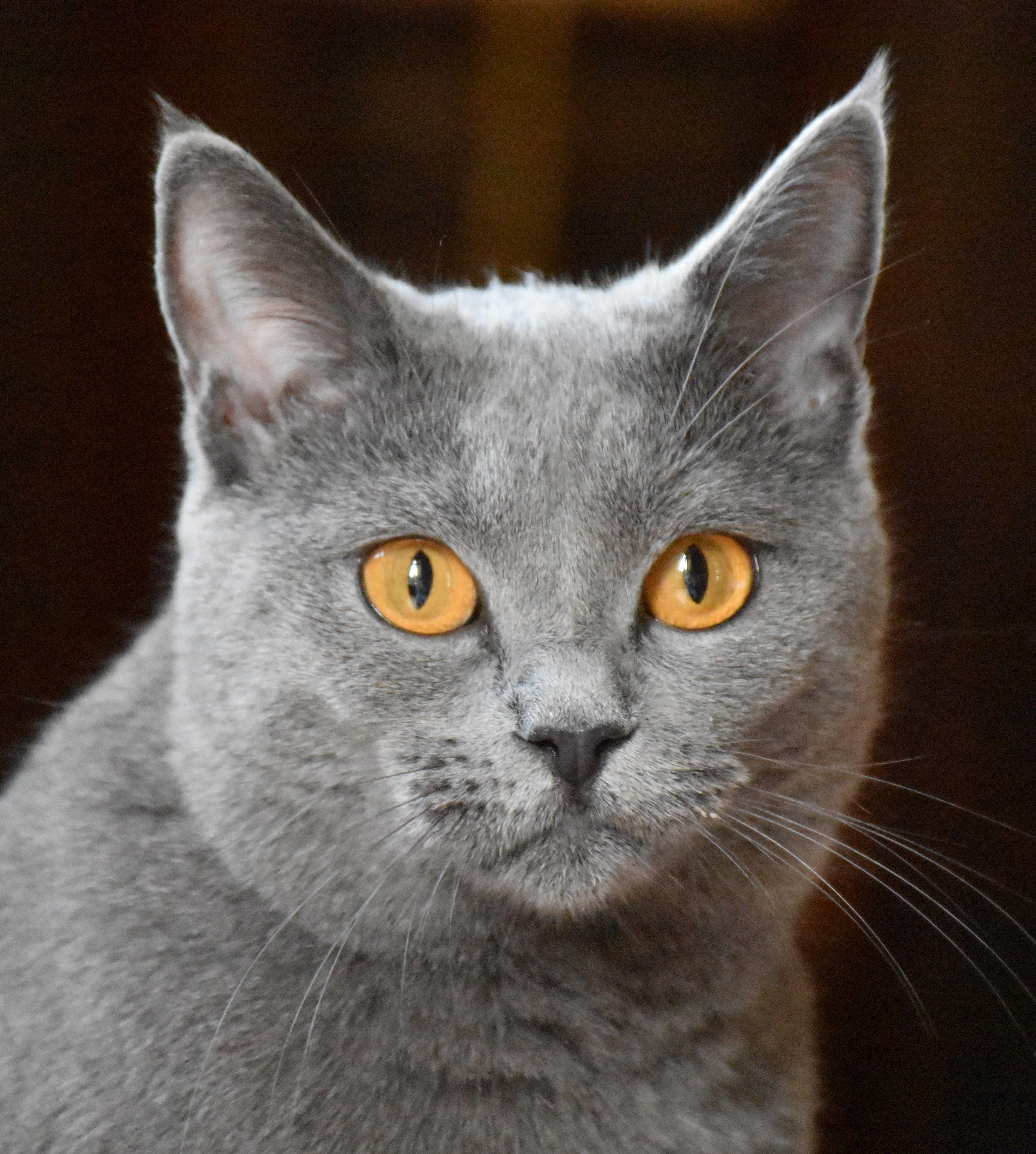 Joconde de Ventadour, chat des Chartreux