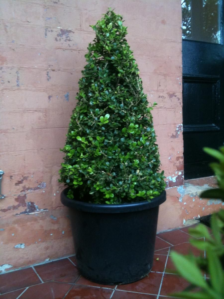 Potted Plants And The Necessary Spring Care: English Box Topiary Cones