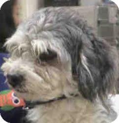Kitsap County Wa Shih Tzu Mix Meet Gabe A Dog For Adoption