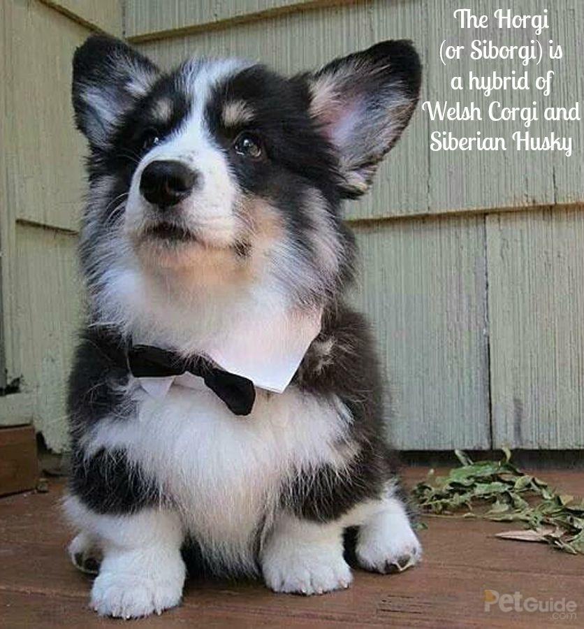 Horgi Corgi Husky Mix Corgi Husky Corgi Mix Puppies