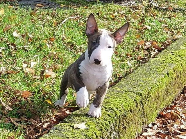 Cariño cachorros-aufbügler Bullterrier aprox 40mm