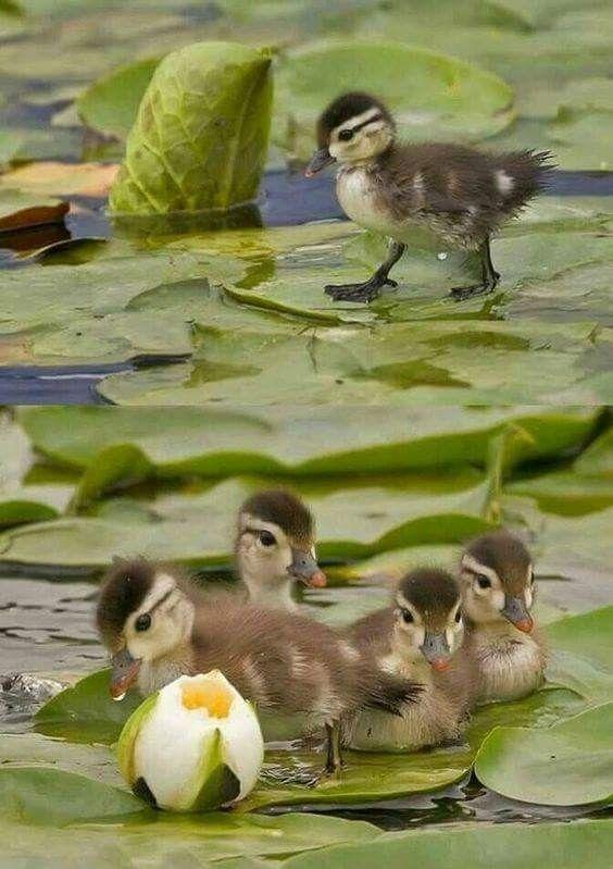 al agua patitos 鳥 animals birds cute animals