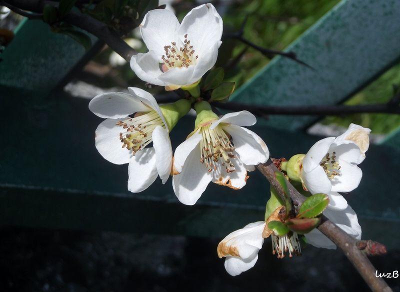 macieira brava