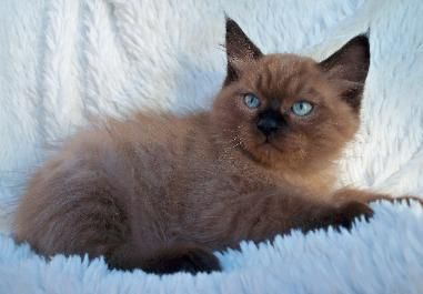 Available Kittens From Ragdoll Rave Manitowoc Wisconsin Ragdoll Kitten Ragdoll Cat Ragdoll Kittens For Sale