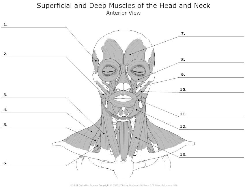 Muscles Of The Head And Neck Unlabeled Anatomy Pinterest