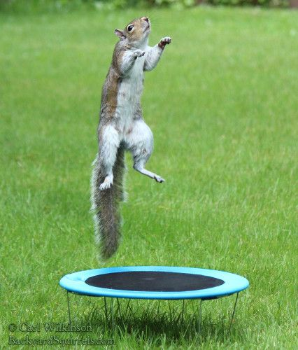 playful squirrel is playing on the trampoline and having. Black Bedroom Furniture Sets. Home Design Ideas