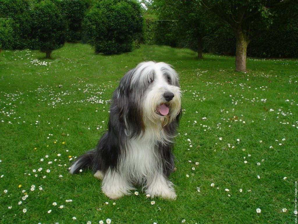 Had A Bearded Collie Called Angus Growing Up Great Dogs Bearded