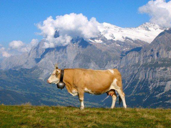 Cow In The Swiss Apls Cow Swiss Alps Travel Art
