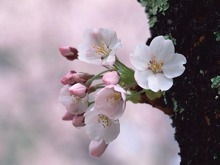 Japanese Cherry Blossom Cherry Blossom Wallpaper Spring Flowers Photography Cherry Blossom Flowers