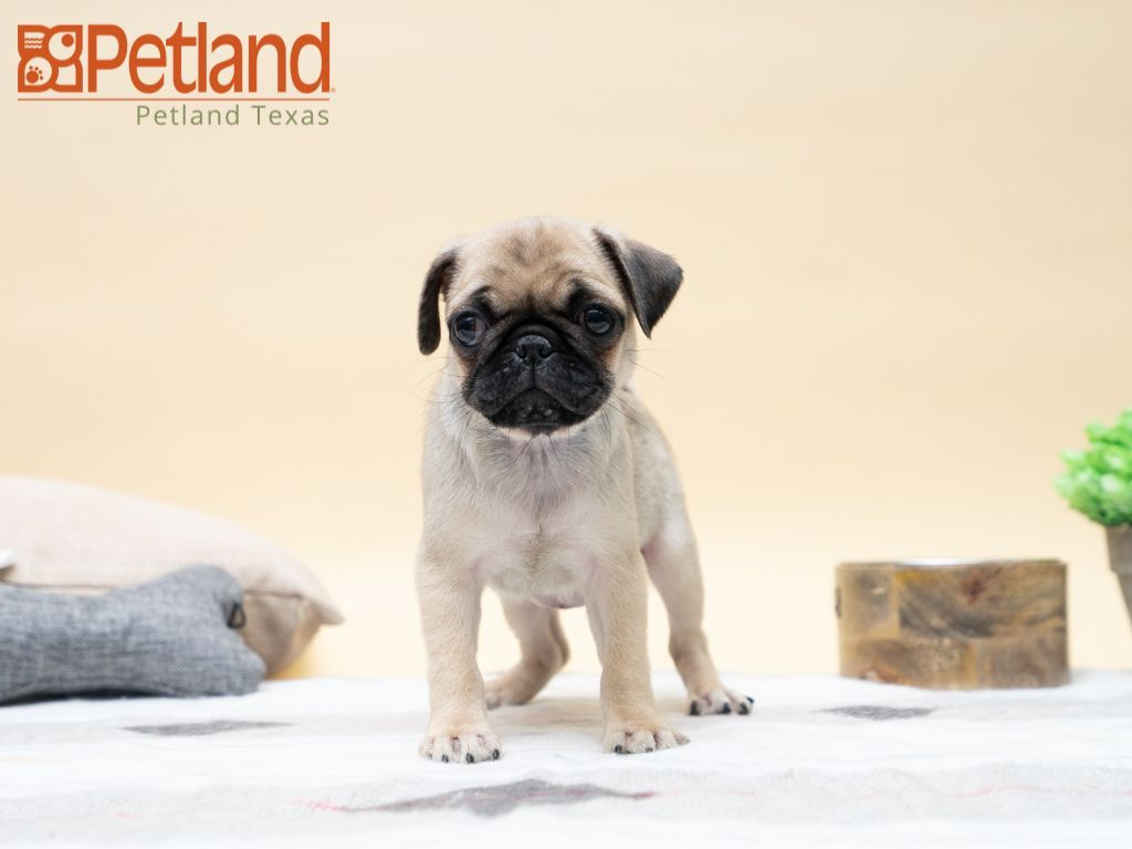 White Pug Pug Sweet Cuties Adorable Puppy Pug Puppy Baby