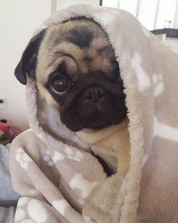 Pin By Michael On Pugs Baby Pugs Cute Pugs Cute Animals