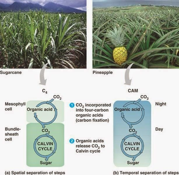 Difference between C3, C4 and CAM plants | Kunskapligt | Pinterest ...