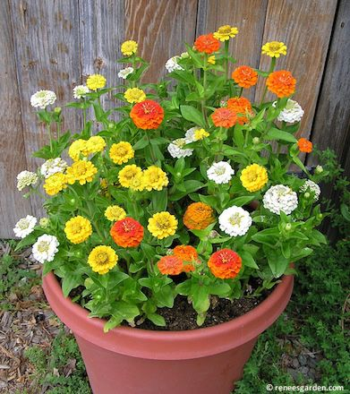 Renee 39 s garden container flowers zinnia pixie sunshine for Easy care flowers for garden