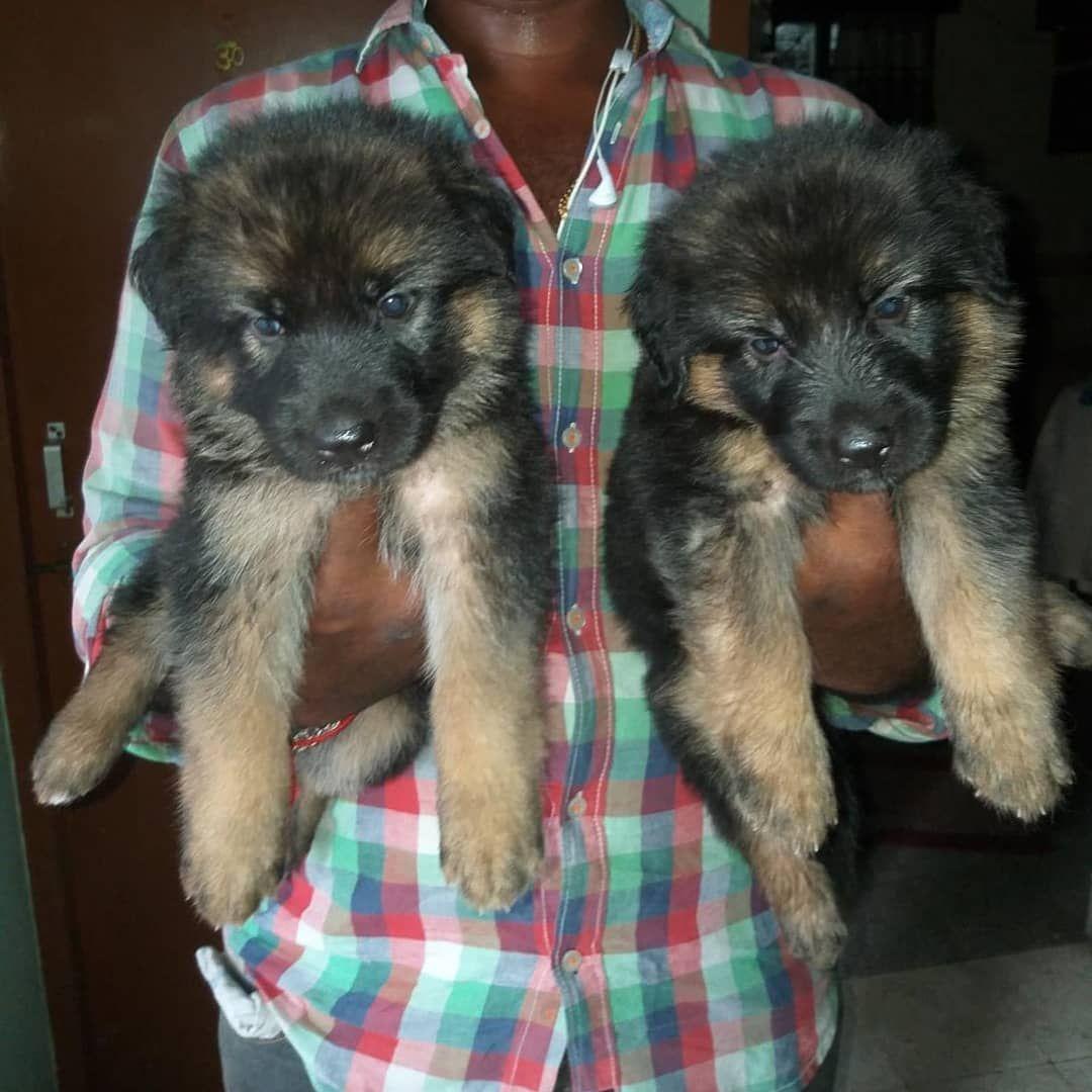 Massive German Shepard Puppies Available In Chennai Original
