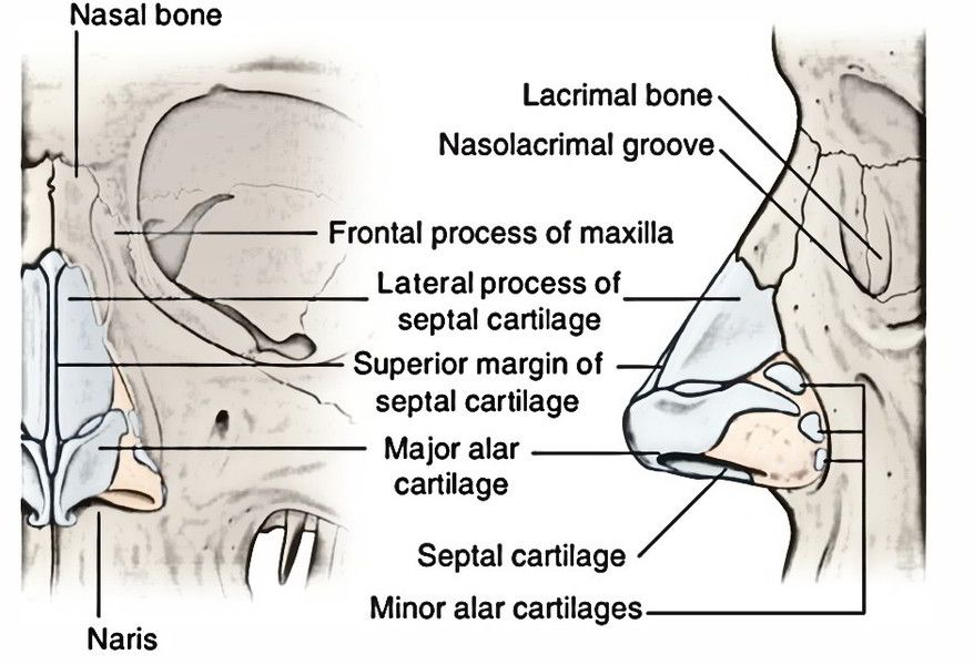 Image Result For External Nose Anatomy Anatomy Of The Respiratory