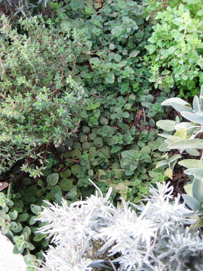 Herbs | Plants, Herbs, Texas plants
