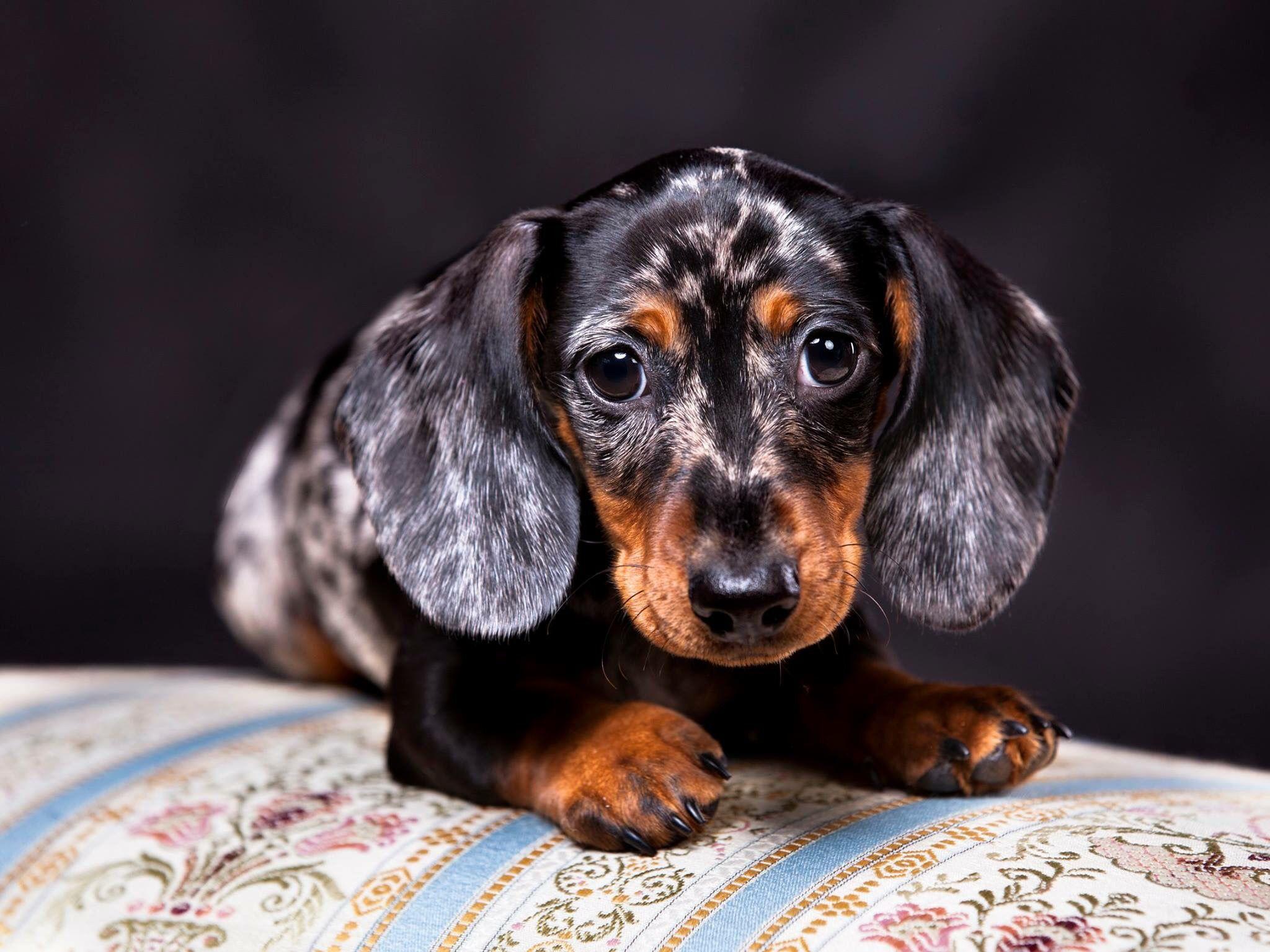 Dapple Dachshund Pup Dog Breeds Dachshund Puppies For Sale