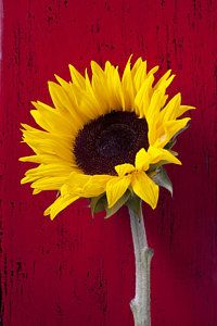 Photograph - Sunflower Against Red Wooden Wall by Garry Gay