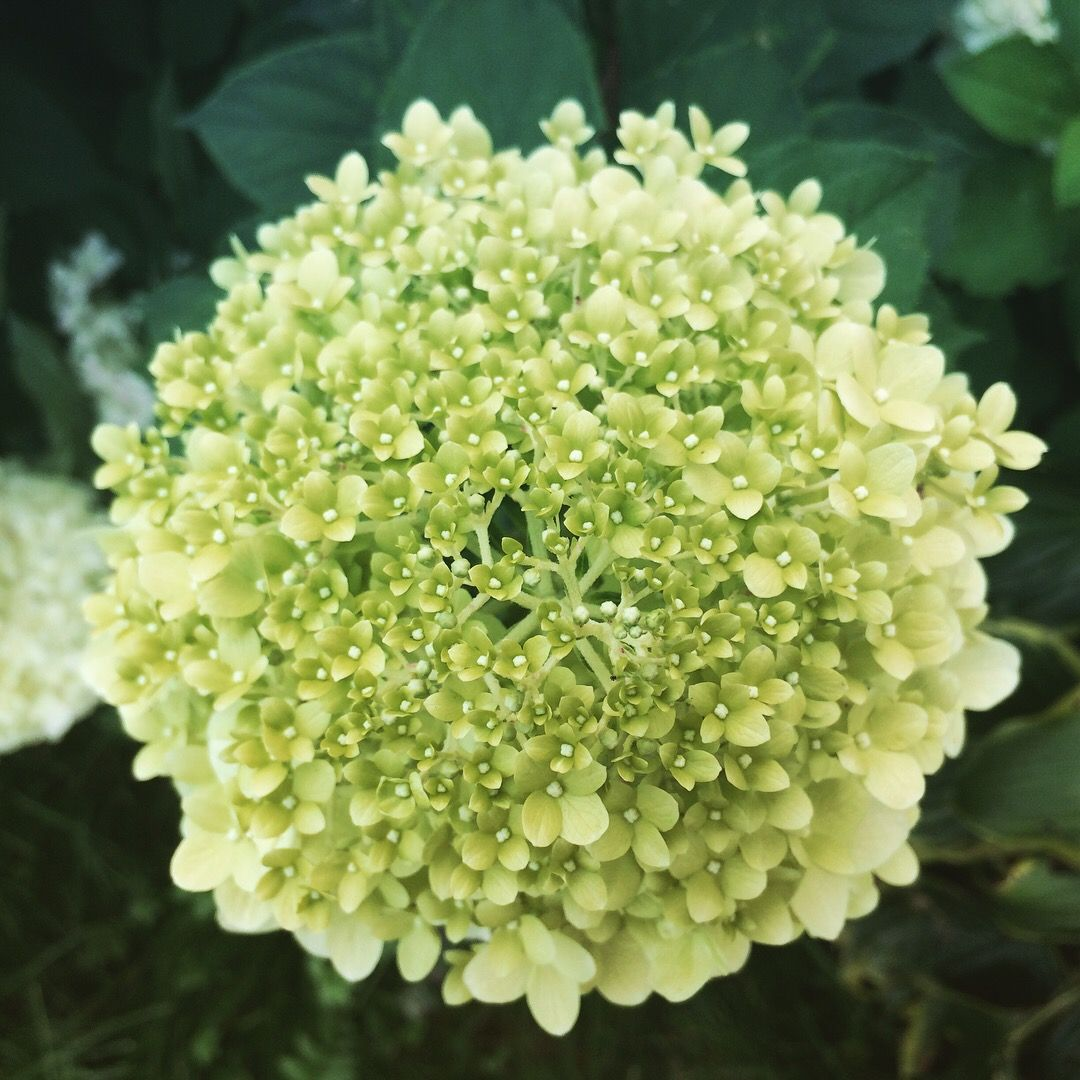 Rozmnazanie Hortensji Bukietowej Zielone Pogotowie Blog Flowers Garden Plants
