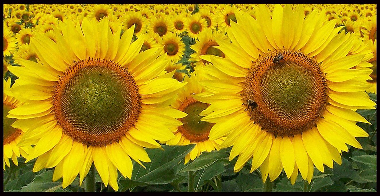 2 Sunflowers Sunflower Plants