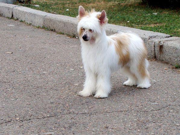 Filippo Vittoria dell Amore - Китайская хохлатая собака питомник Vittoria dell Amore
