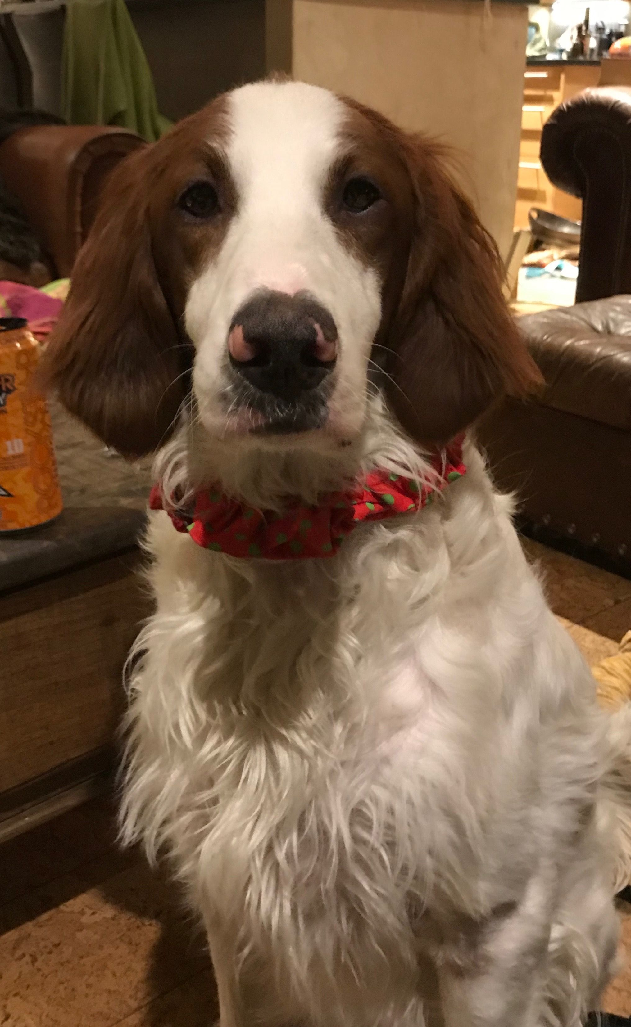 Irish red and white setter, Fiagia. (With images)   Red ...
