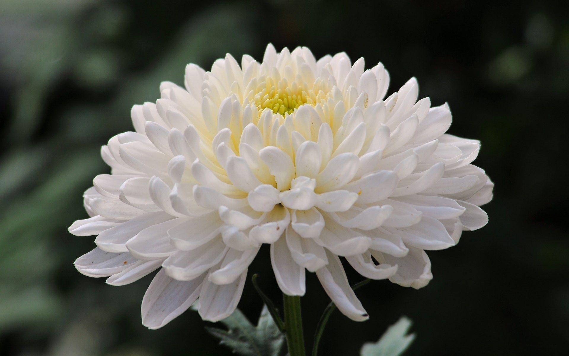 Beautiful Chrysanthemum Flower Hd Wallpaper Chrysanthemum Hd Wallpaper For Desktop Flowers Wallpapers Chrysanthemum Flower White Chrysanthemum Flower Close Up