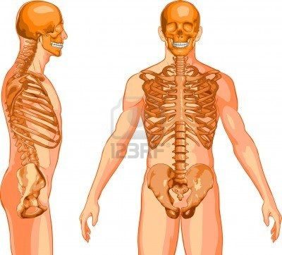 Skeleton Torso Stock Photo