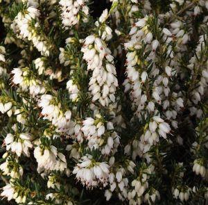 Winter Heather Iii Erica Plants White Flowers Bridal Flowers