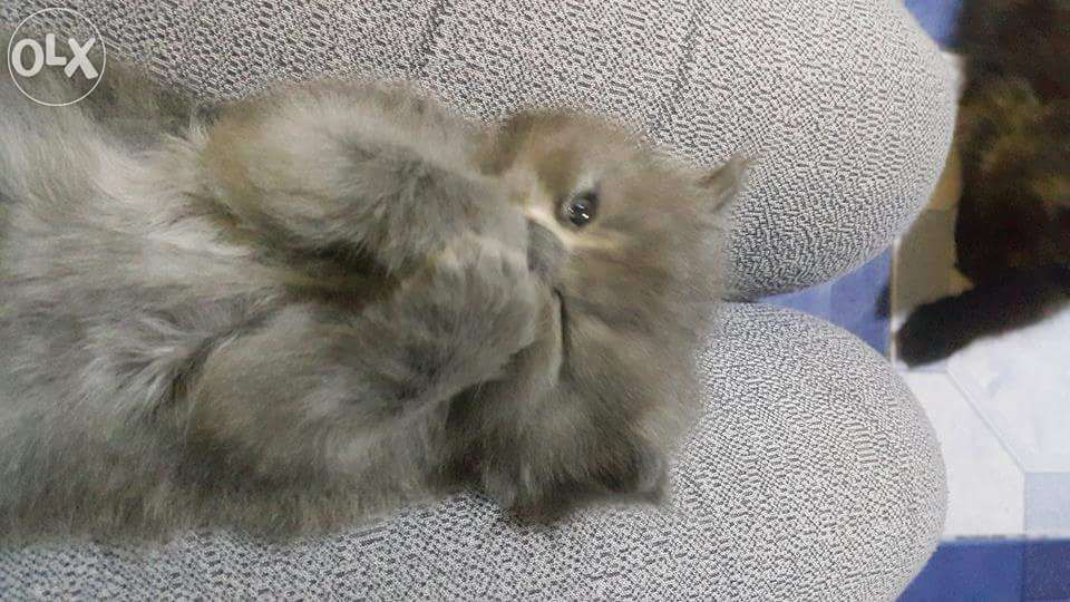 Siamese and persian cat for sale cute ) For Sale