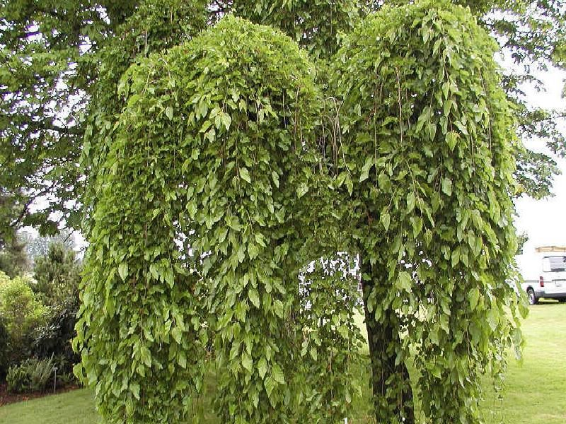 Morus Alba Pendula Weeping Mulberry