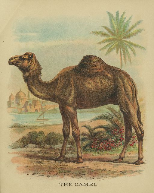 All sizes | Vintage Camel Drawing | Flickr - Photo Sharing!