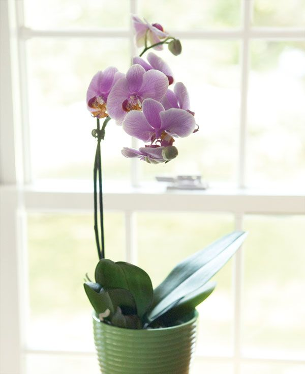 Why Won T My Orchid Rebloom Practical Gardening Advice