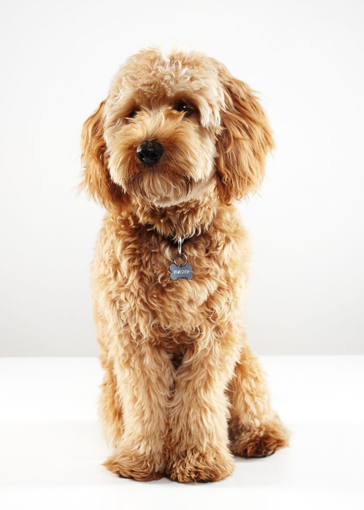 For The Groomer- So They Know What My Labradoodle Is -9762
