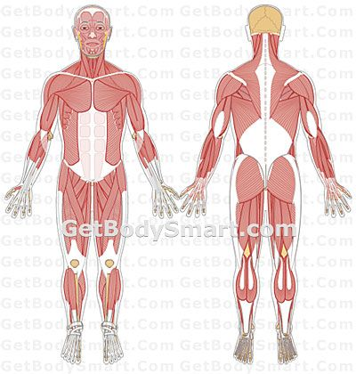 Good Interactive Visual Representation Of Musculoskeletal System And
