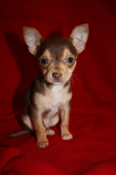 Memphis As A Puppy Chocolate Brown Chihuahua Cute Little Dogs