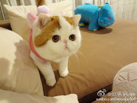 Snoopy The Exotic Shorthair Ok I Am Not A Big Animal Person But I